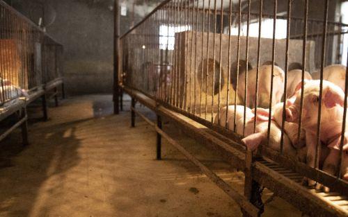 Una compañía de biotecnología probará órganos de cerdo en trasplantes para humanos