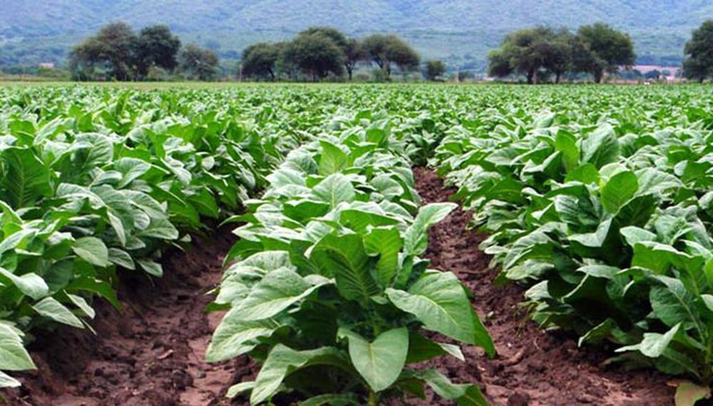 Tabacaleros de Jujuy cobrarán 54 millones de pesos