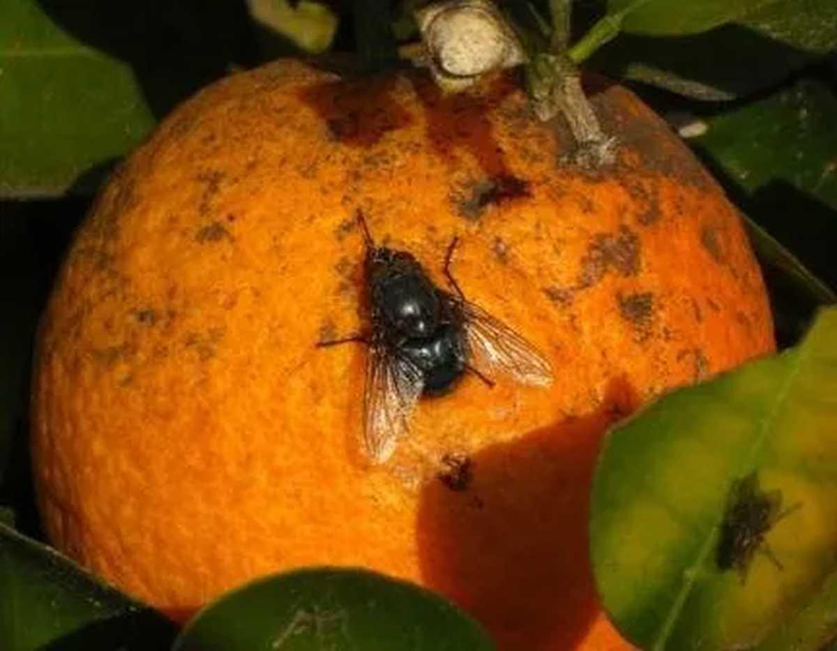 mosca-de-los-frutos:-buscan-controlar-la-plaga